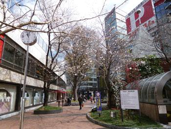 西銀座チャンスセンターの入口の桜の樹